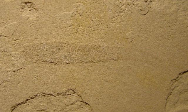Muensteria vermicularis Bild ©