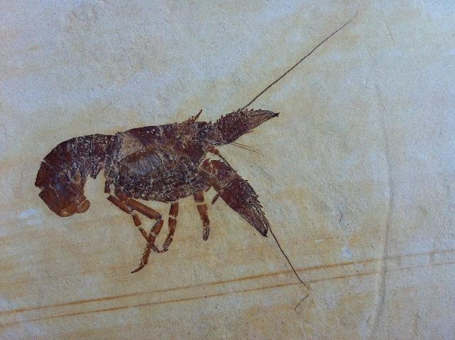 Palaeastacus fuciformis Bild ©