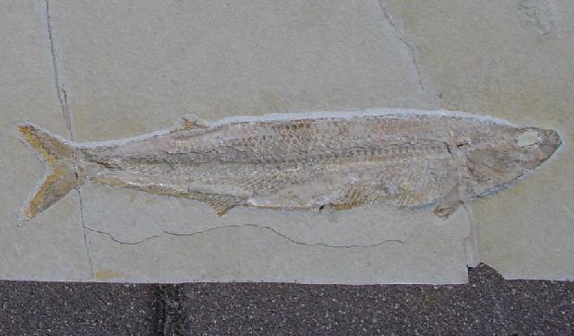 Allothrissops salmoneus Bild ©