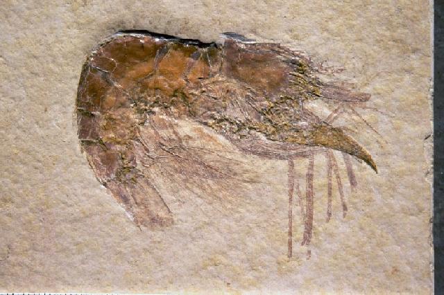 Pleopteryx kuempeli Bild ©