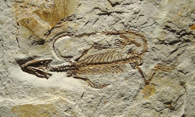 Homoeosaurus sp. Bild ©