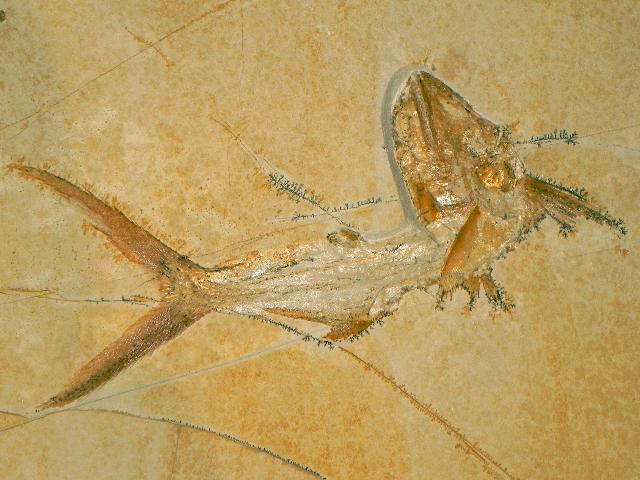 Sauropsis longimanus Bild ©