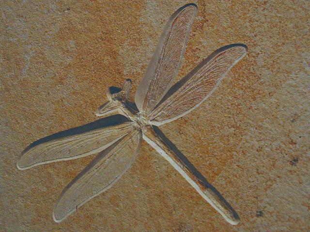 Stenophlebia amphitrite Bild ©