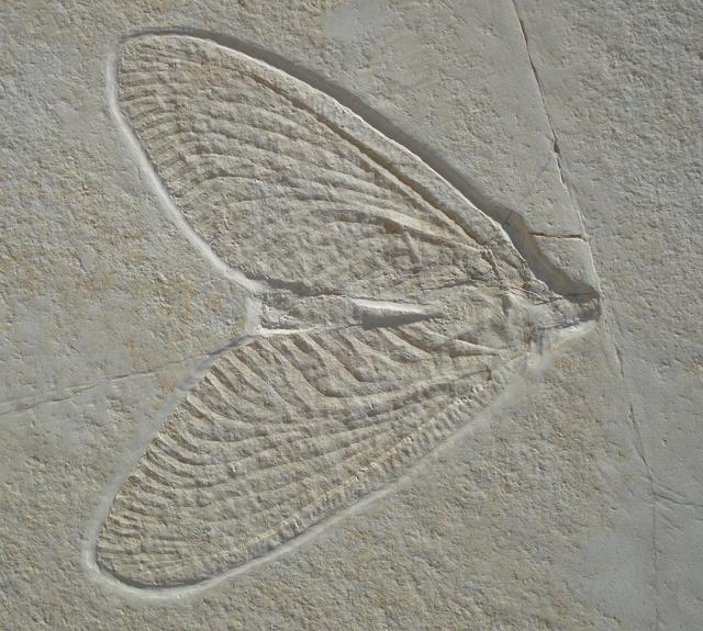 Archaegetes neuropterum Bild ©