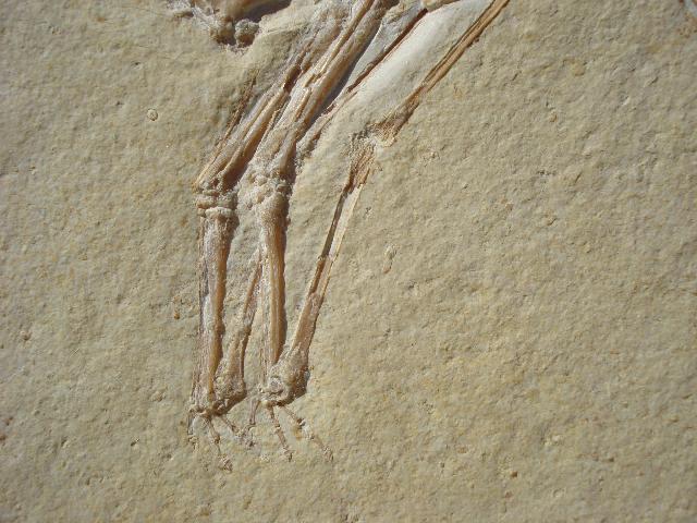Pterodactylus elegans Bild ©