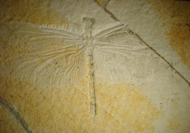 Bergeraeschnidia inexpectata Bild ©