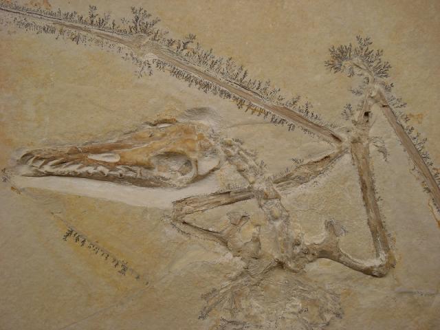 Rhamphorhynchus muensteri Bild ©