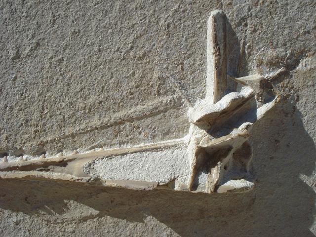 Flugsaurier non det. Bild ©
