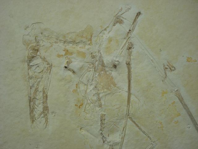 Rhamphorhynchus gemmingi Bild ©