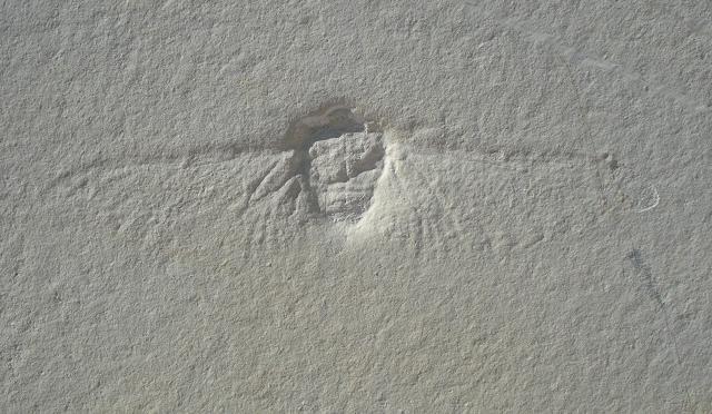 Eocicada microcephala Bild ©