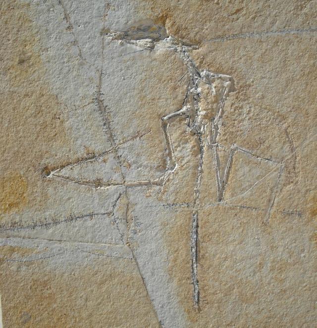 Rhamphorhynchus sp. Bild ©