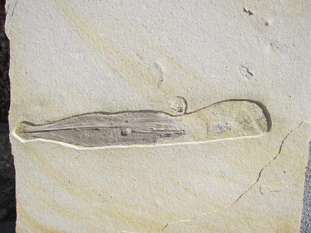 Plesioteuthis prisca Bild ©