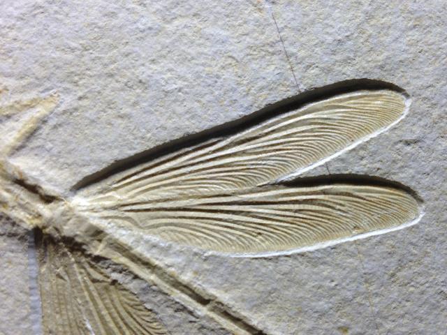 Stenophlebia latreillei Bild ©