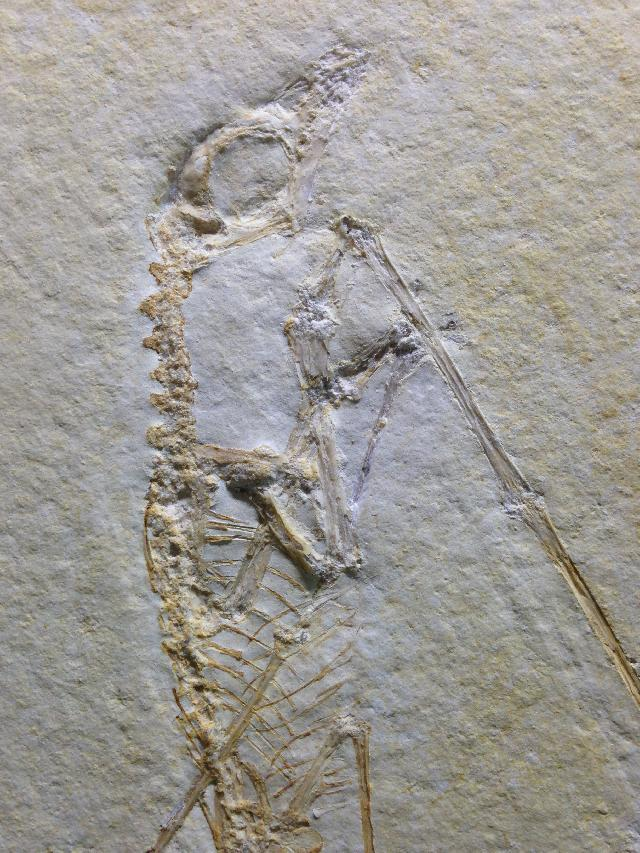 Rhamphorhynchus longicaudus Bild ©