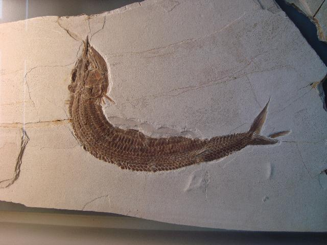 Aspidorhynchus sanzenbacheri Bild ©
