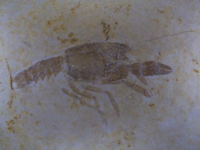Palaeastacus sp. Bild ©