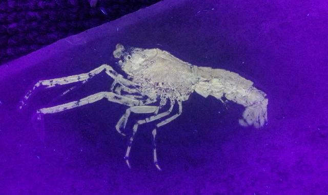 Mecochirus longimanatus Bild ©