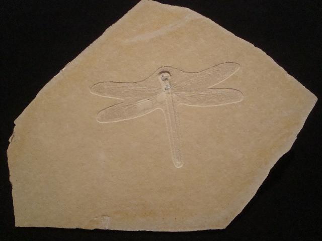 Stenophlebia eichstaettensis Bild ©
