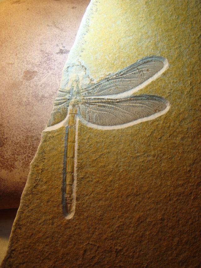 Protolindenia wittei Bild ©
