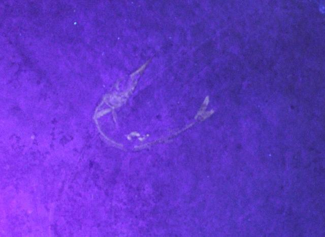Aspidorhynchus acutirostris Bild ©