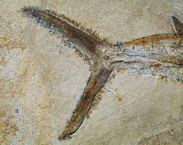 Sauropsis sp. Bild ©