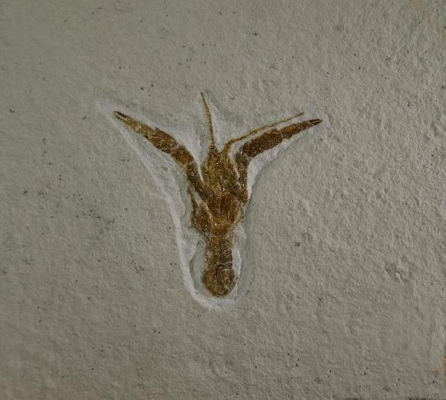 Stenodactylina sp. Bild ©