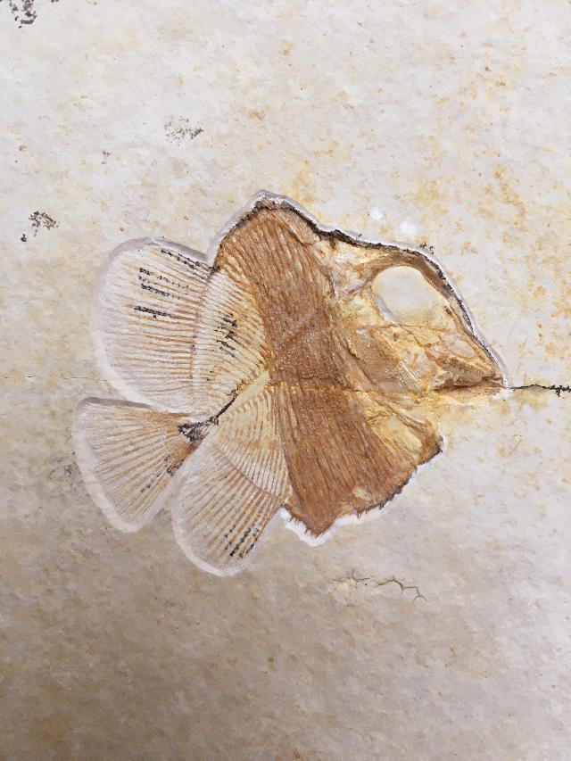 Macromesodon gibbosus Bild ©