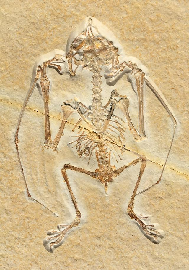 Anurognathus ammoni Bild ©