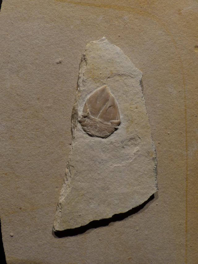 Archaeolepas redenbacheri Bild ©
