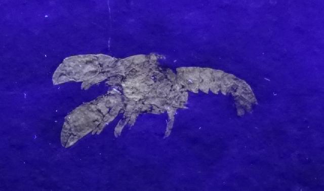 Palaeastacus rothgaengerae Bild ©