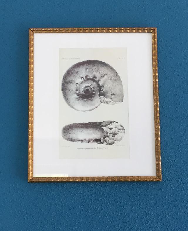 Lithographiestein M. Neumayr Acanthicusschichten  Tafel XLI   Bild ©