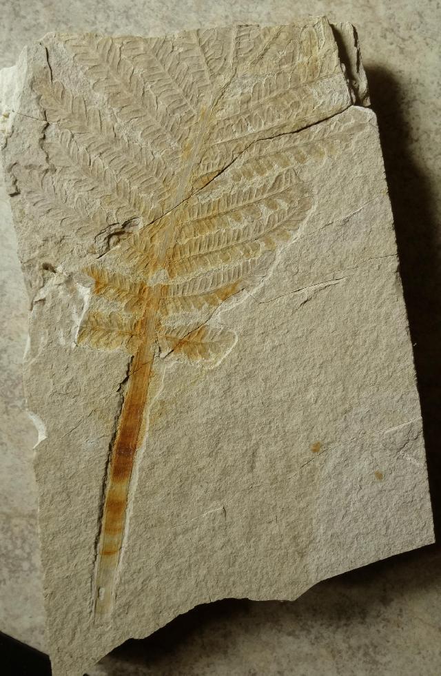 Cycadopteris jurensis Bild ©