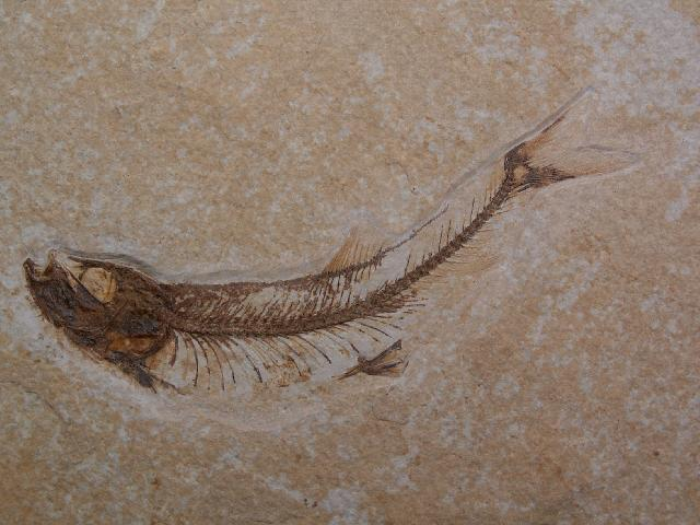 Leptolepides sprattiformis Bild ©