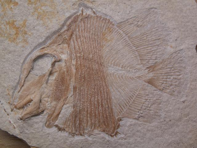 Macromesodon macropterus Bild ©