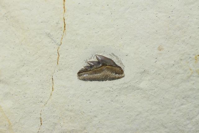 Notidanoides muensteri Bild ©