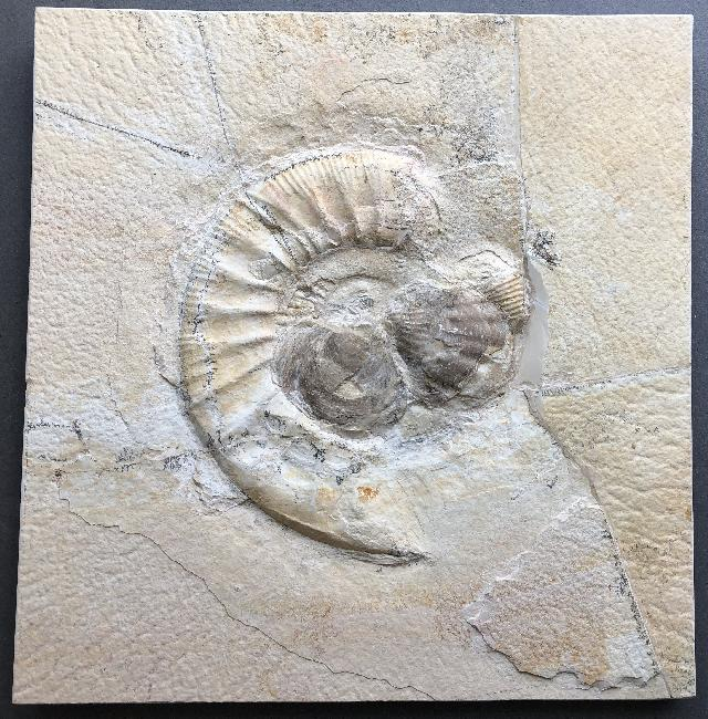 Lithacoceras sp. Bild ©