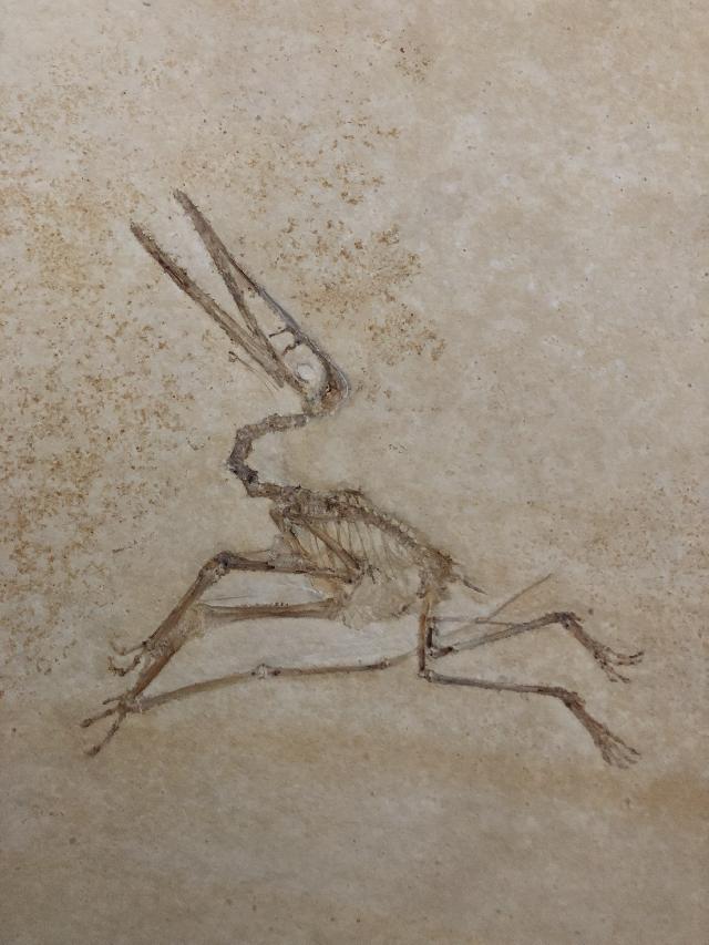 Pterodactylus kochi Bild ©