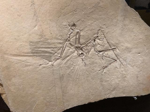 Archaeopteryx bavarica Bild ©