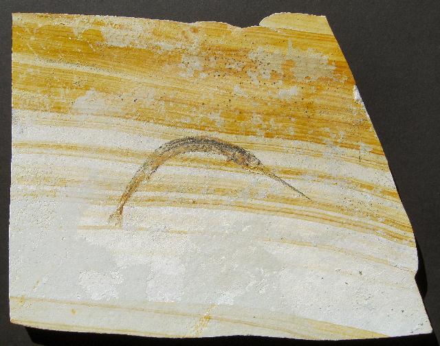 Aspidorhynchus sp. Bild ©