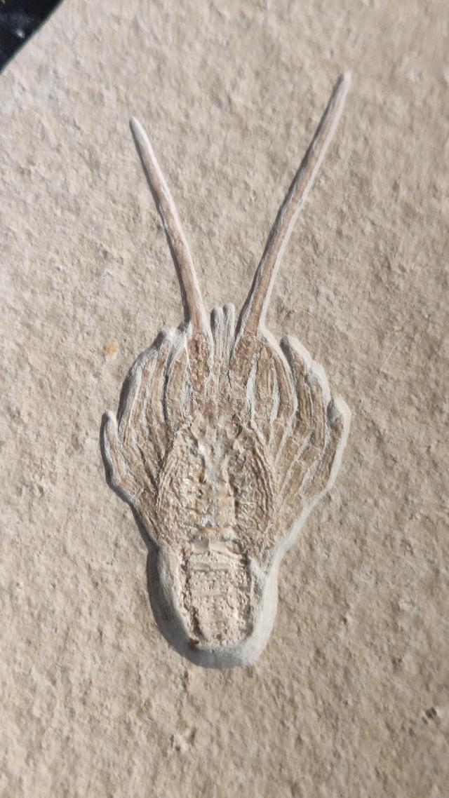 Palinurina longipes Bild ©