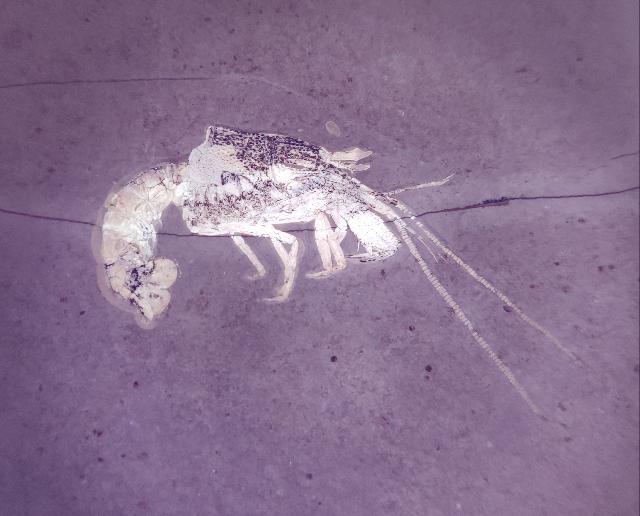Glyphea pseudoscyllarus Bild ©