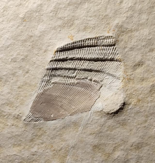 Arcomytilus furcatus Bild ©
