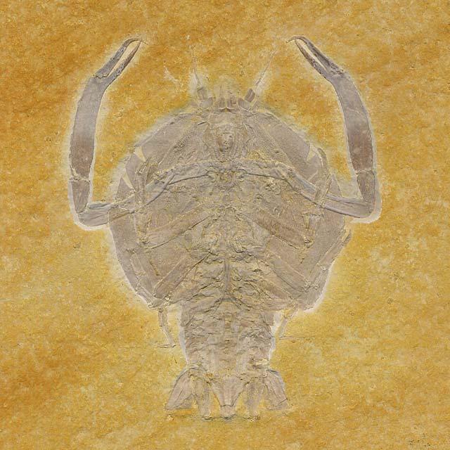 Cycleryon propinquus Bild ©