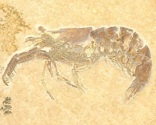 Acanthochirana longipes Bild ©
