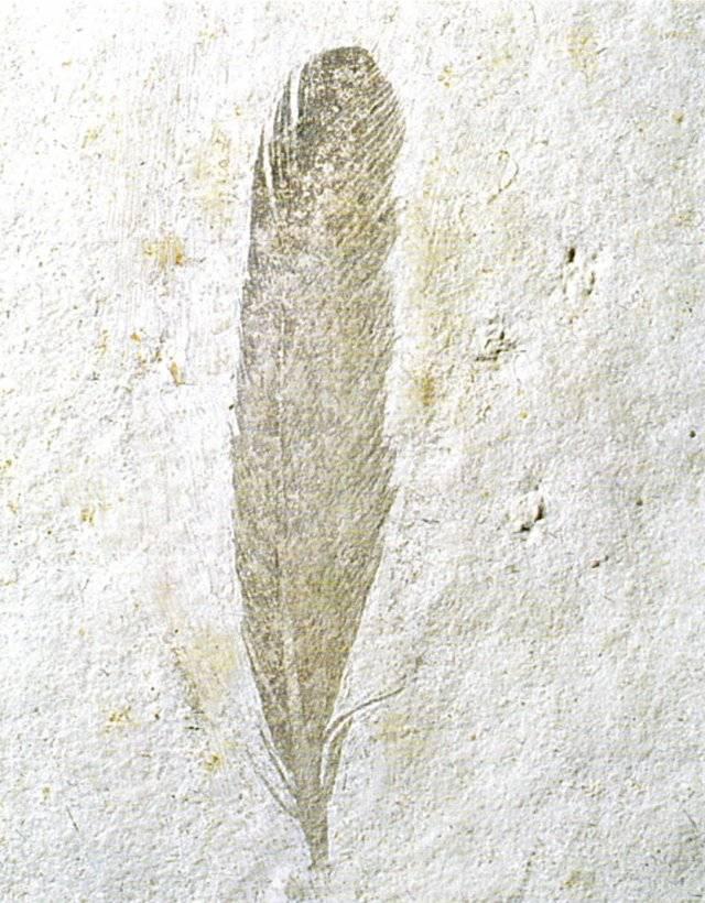Archaeopteryx lithographica Bild ©