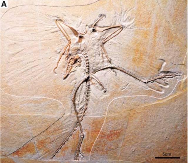 Archaeopteryx sp. Bild ©