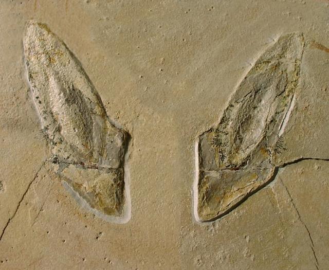 Trachyteuthis hastiformis Bild ©