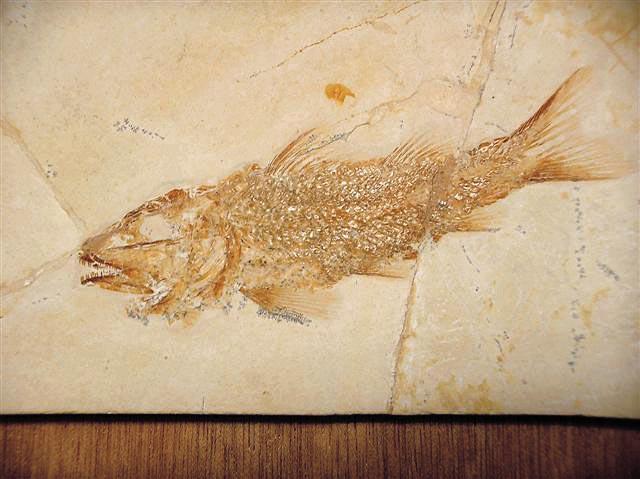 Notagogus denticulatus Bild ©