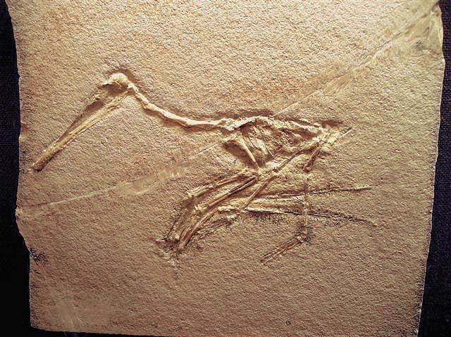 Pterodactylus sp. Bild ©