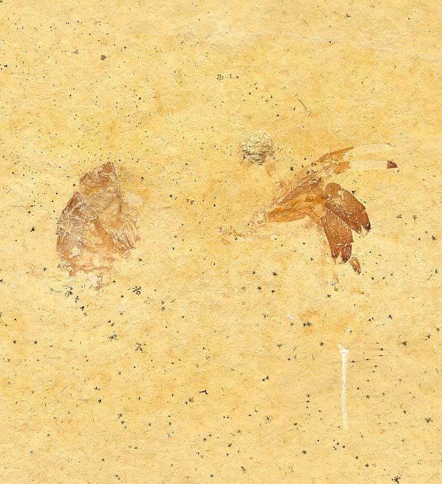Buergerocaris psittacoides Bild ©
